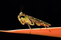 μεγάλα mantis στοκ εικόνες με δικαίωμα ελεύθερης χρήσης