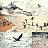 Μεγάλα op ομάδας seagulls παίρνουν από την παραλία στο ηλιοβασίλεμα, μόνη seagull μύγα μακριά, σύνολο εικόνων της άγριας φύσης Στοκ Εικόνες
