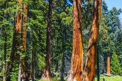 Μεγάλα sequoia δέντρα Sequoia Στοκ Εικόνα