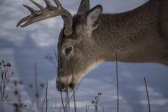 Μεγάλες αναζητήσεις buck των τροφίμων Στοκ Φωτογραφίες