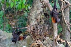 Μεγάλες πετώντας αλεπούδες, Μπαλί, Ινδονησία Στοκ Εικόνες