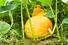 Μεγάλες πορτοκαλιές κολοκύθες που αυξάνονται στον κήπο Στοκ Εικόνες