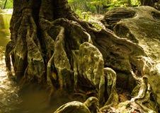 Μεγάλες ρίζες δέντρων Στοκ φωτογραφία με δικαίωμα ελεύθερης χρήσης
