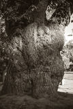 Μεγάλες ρίζες δέντρων Στοκ Φωτογραφία