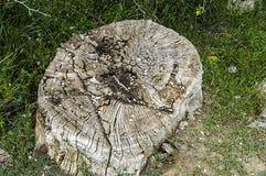 Μεγάλες ρίζες που αφήνονται πίσω από τα κομμένα δέντρα λευκών, Στοκ Εικόνες