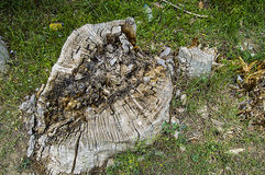 Μεγάλες ρίζες που αφήνονται πίσω από τα κομμένα δέντρα λευκών, Στοκ φωτογραφίες με δικαίωμα ελεύθερης χρήσης