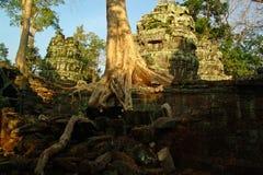 Μεγάλες ρίζες Angkor Wat Στοκ Εικόνα