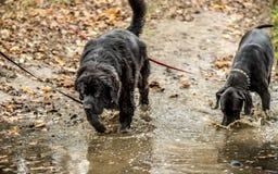 Μεγάλες σκυλί και νέα γη Δανών Στοκ εικόνα με δικαίωμα ελεύθερης χρήσης