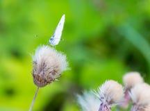 Μεγάλη άσπρη πεταλούδα σε ένα κεφάλι κάρδων Στοκ φωτογραφία με δικαίωμα ελεύθερης χρήσης