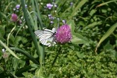 Μεγάλη άσπρη πεταλούδα στο λουλούδι 6 τριφυλλιού Στοκ εικόνες με δικαίωμα ελεύθερης χρήσης