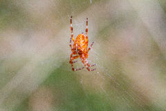 Μεγάλη αράχνη που αναρριχείται κάτω από τον Ιστό στο δάσος Στοκ φωτογραφία με δικαίωμα ελεύθερης χρήσης