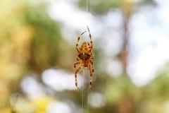 Μεγάλη αράχνη που αναρριχείται κάτω από τον Ιστό Στοκ Φωτογραφίες