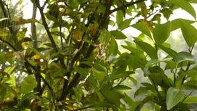 Μεγάλη αράχνη σε έναν πράσινο θάμνο απόθεμα βίντεο