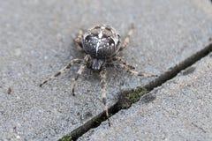 Μεγάλη αράχνη σφαιρών Στοκ Φωτογραφίες