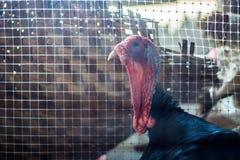 Μεγάλη αρσενική Τουρκία σε ένα αγρόκτημα Στοκ φωτογραφία με δικαίωμα ελεύθερης χρήσης