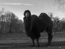 Μεγάλη βακτριανή καμήλα στοκ φωτογραφία