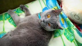 Μεγάλη βρετανική γάτα Στοκ εικόνα με δικαίωμα ελεύθερης χρήσης