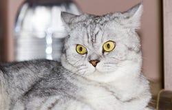 μεγάλη γάτα γκρίζα Στοκ φωτογραφία με δικαίωμα ελεύθερης χρήσης