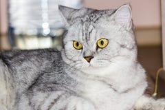 μεγάλη γάτα γκρίζα Στοκ φωτογραφίες με δικαίωμα ελεύθερης χρήσης