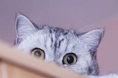 μεγάλη γάτα γκρίζα Στοκ εικόνες με δικαίωμα ελεύθερης χρήσης
