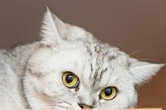 μεγάλη γάτα γκρίζα Στοκ Εικόνα