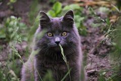 Μεγάλη γκρίζα γάτα Στοκ Φωτογραφίες