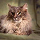 Μεγάλη γούνινη γκρίζα γάτα Στοκ Εικόνες