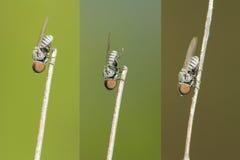 Μεγάλη επικεφαλής μύγα Στοκ εικόνα με δικαίωμα ελεύθερης χρήσης