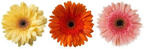 Μεγάλη επιλογή του ζωηρόχρωμου jamesonii Gerbera λουλουδιών Gerbera που απομονώνεται στο άσπρο υπόβαθρο Στοκ Εικόνες