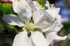 Μεγάλη λεπτομέρεια του άσπρου λουλουδιού της Apple Στοκ εικόνα με δικαίωμα ελεύθερης χρήσης