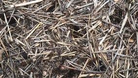 Μεγάλη κίνηση μυρμηγκιών γρήγορα στην επιφάνεια του αχύρου απόθεμα βίντεο