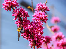 Μεγάλη κίτρινη μέλισσα που προσκολλάται στα ρόδινα λουλούδια Στοκ εικόνα με δικαίωμα ελεύθερης χρήσης