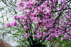 Μεγάλη και λεπτή άνθιση magnolia λουλουδιών υπαίθρια Στοκ Εικόνες