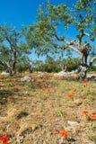 Μεγάλη και παλαιά αρχαία ελιά στον κήπο ελιών σε Mediterran Στοκ Φωτογραφίες