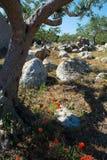 Μεγάλη και παλαιά αρχαία ελιά στον κήπο ελιών σε Mediterran Στοκ φωτογραφία με δικαίωμα ελεύθερης χρήσης
