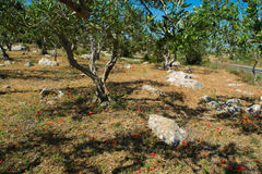 Μεγάλη και παλαιά αρχαία ελιά στον κήπο ελιών σε Mediterran Στοκ φωτογραφίες με δικαίωμα ελεύθερης χρήσης
