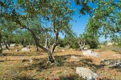 Μεγάλη και παλαιά αρχαία ελιά στον κήπο ελιών σε Mediterran Στοκ Εικόνες