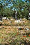 Μεγάλη και παλαιά αρχαία ελιά στον κήπο ελιών σε Mediterran Στοκ εικόνα με δικαίωμα ελεύθερης χρήσης