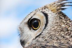 Μεγάλη κερασφόρος κουκουβάγια που φαίνεται αριστερά μάτια ευρέως ανοικτά Στοκ εικόνες με δικαίωμα ελεύθερης χρήσης