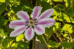 Μεγάλη κινηματογράφηση σε πρώτο πλάνο λουλουδιών Clematis Στοκ φωτογραφίες με δικαίωμα ελεύθερης χρήσης