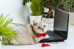 Μεγάλη κουρασμένη στερεά γάτα στον κόκκινο δεσμό τόξων που αποσπάται από τη οθόνη υπολογιστή και πολύ προσεκτικά εξέταση μας Στοκ Εικόνες