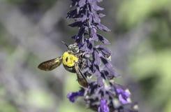 Μεγάλη μέλισσα ξυλουργών της Αυστραλίας Στοκ φωτογραφία με δικαίωμα ελεύθερης χρήσης