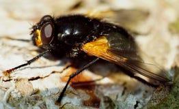 Μεγάλη μαύρη μύγα με τα χρυσά φτερά Στοκ Εικόνες