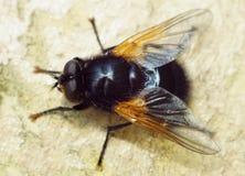 Μεγάλη μαύρη μύγα με τα χρυσά φτερά Στοκ Εικόνα