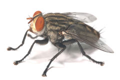 μεγάλη μύγα Στοκ εικόνες με δικαίωμα ελεύθερης χρήσης