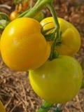 μεγάλη ντομάτα κίτρινη Στοκ Φωτογραφία