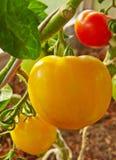 μεγάλη ντομάτα κίτρινη Στοκ φωτογραφία με δικαίωμα ελεύθερης χρήσης