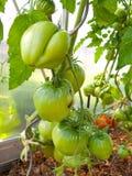 Μεγάλη ντομάτα καρδιών ταύρων Στοκ φωτογραφία με δικαίωμα ελεύθερης χρήσης