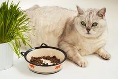 Μεγάλη οκνηρή υπέρβαρη γάτα με το κύπελλο των ξηρών τροφίμων Στοκ Φωτογραφία