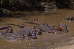 Μεγάλη ομάδα hippos, Serengeti, Τανζανία Στοκ εικόνες με δικαίωμα ελεύθερης χρήσης